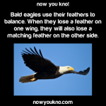 Bald eagles use their feathers to balance