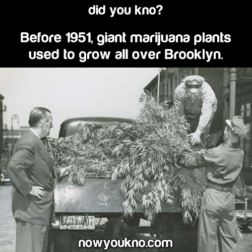 Giant marijuana used to grow all over Brooklyn