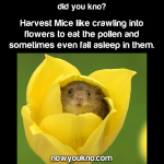Harvest mice sleep in flowers