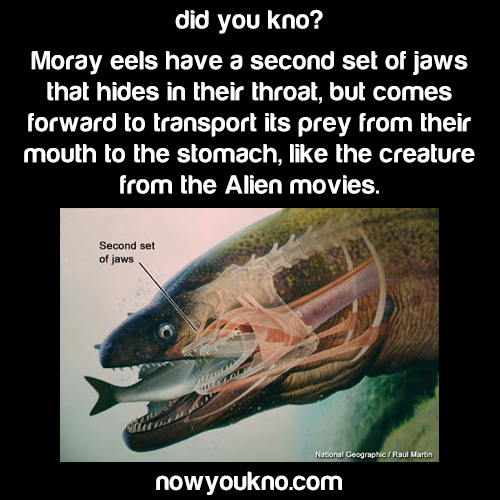 Moray eels jaws are freaky