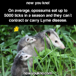 Opossums can eat up to 5000 ticks a season