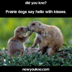 Prairie dogs say hello with kisses