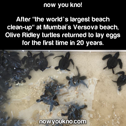 Olive Ridley turtles return after 20 years