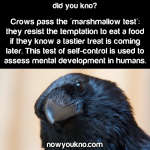 Crows pass the marshmallow test
