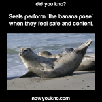 Baikal seals are the world's only exclusively freshwater seals