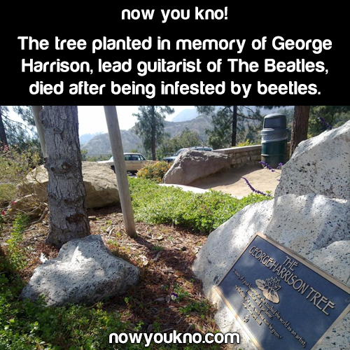 Beetles kill Beatles tree