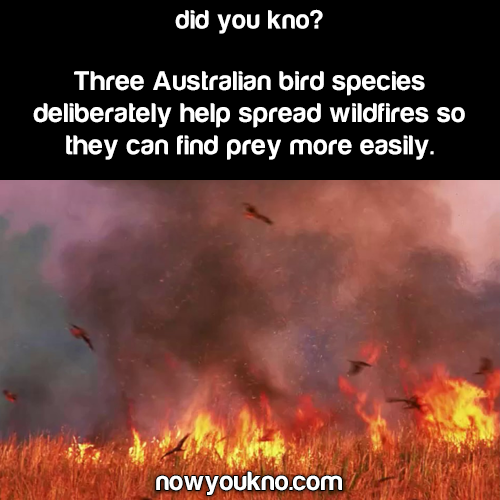 Australian birds deliberately spread wildfires