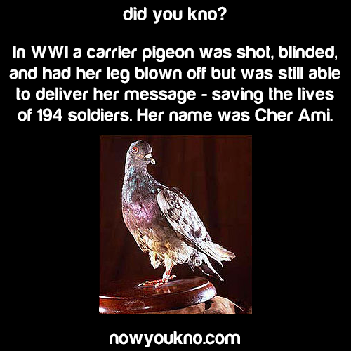 Cher Ami, the hero pigeon