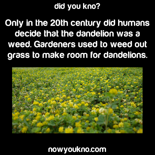 Dandelions weren't always seen as a weed