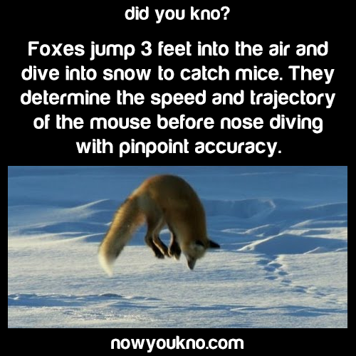 Foxes hunt in the snow