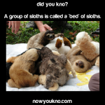 A group of sloths is called a 'bed' of sloths