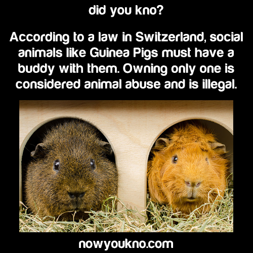 Owning A Guinea Pig is illegal in Switzerland