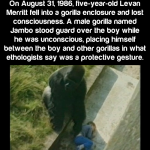 Jambo the Gorilla