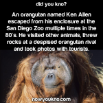 Ken Allen the Escaping Orangutan