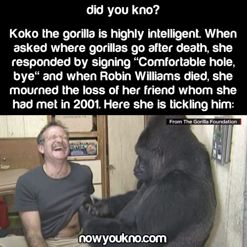 Koko the Gorilla mourned Robin Williams