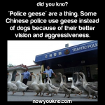 Police geese