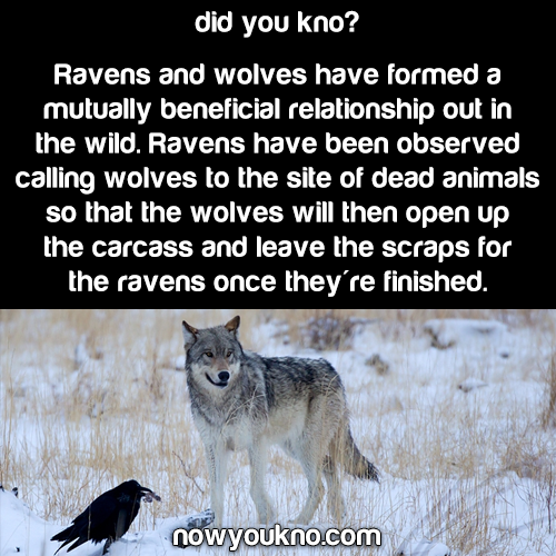 Ravens and Wolves: unlikely friends