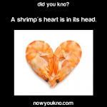 A shrimp's heart is in its head